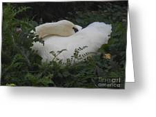 Resting Swan Greeting Card