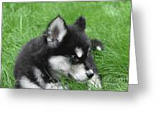 Resting Two Month Old Alusky Puppy Dog In Grass Greeting Card