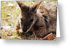 Resting Wallaby Greeting Card