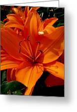Retreating Orange Lilies Greeting Card