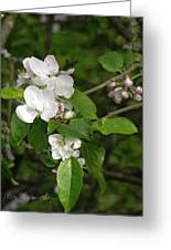 Rhineland-palatinate Pear Blossoms Greeting Card