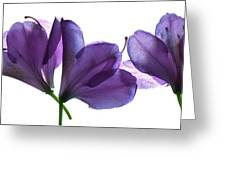 Rhody Ballet-purple Greeting Card