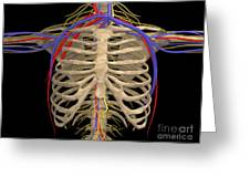 Rib Cage With Nerves, Arteries Greeting Card