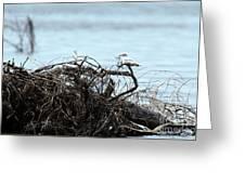 Ring Billed Gull Greeting Card