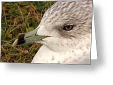Ring Billed Gull Profile Greeting Card