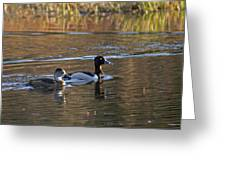 Ring Necked Duck Greeting Card