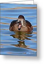 Ring-necked Duck Spring Call Greeting Card