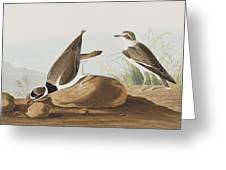 Ring Plover  Greeting Card