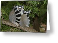 Ring-tailed Lemurs Greeting Card