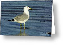 Ringed Billed Sea Gull Greeting Card