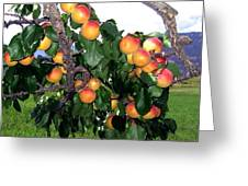 Ripe Apricots Greeting Card by Will Borden
