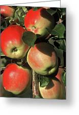 Ripening Apples Greeting Card