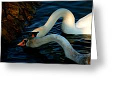 River Bank Swans Nature Pictures For Sale Greeting Card