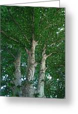 River Birches Greeting Card