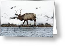 Riverside Elk Greeting Card