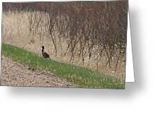 Roadside Rooster Pheasant Greeting Card