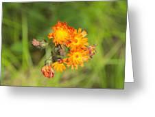 Roadside Wildflower Greeting Card