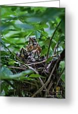 Robin Chicks In Nest. Greeting Card