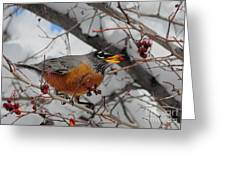 Robin Eating A Berry Greeting Card