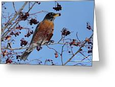 Robin Eating A Red Berry Greeting Card