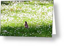 Robin In A Field Of Daisies Greeting Card