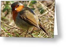 Robin In Hedgerow 3 Greeting Card