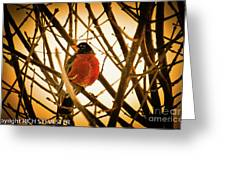 Robin In Late Sun Greeting Card