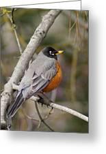 Robin In Tree 2 Greeting Card