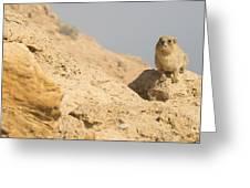 Rock Hyrax Procavia Capensis Greeting Card