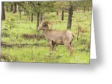Rocky Mountain Big Horn Sheep Greeting Card