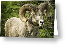 Rocky Mountain Bighorn Sheep Greeting Card