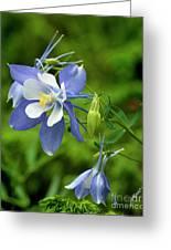 Rocky Mountain Blue Columbine Greeting Card