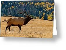 Rocky Mountain Bull Elk Greeting Card