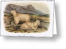 Rocky Mountain Goats Greeting Card
