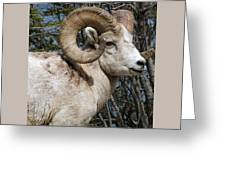 Rocky Mountain Ram Greeting Card