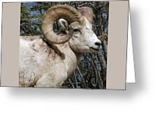 Rocky Mountain Ram Greeting Card