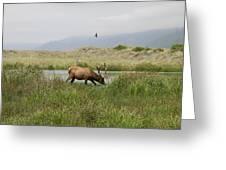 Roosevelt Elk 1 Greeting Card