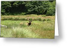 Roosevelt Elk 2 Greeting Card