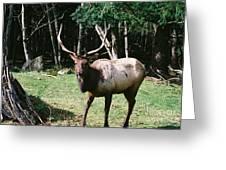 Roosevelt Elk Greeting Card