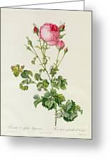 Rosa Centifolia Bipinnata Greeting Card