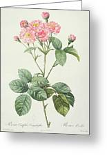 Rosa Centifolia Caryophyllea Greeting Card by Pierre Joseph Redoute