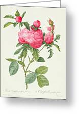 Rosa Centifolia Prolifera Foliacea Greeting Card