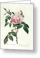 Rosa Chinensis And Rosa Gigantea Greeting Card