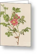 Rosa Cinnamomea The Cinnamon Rose Greeting Card