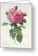 Rosa Gallica Flore Giganteo Greeting Card