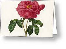 Rosa Gallica Greeting Card