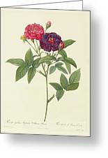 Rosa Gallica Purpurea Velutina Greeting Card