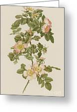 Rosa Hibernica Greeting Card