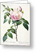 Rosa Indica Fragrans Greeting Card
