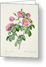 Rosa Mollissima Greeting Card by Claude Antoine Thory